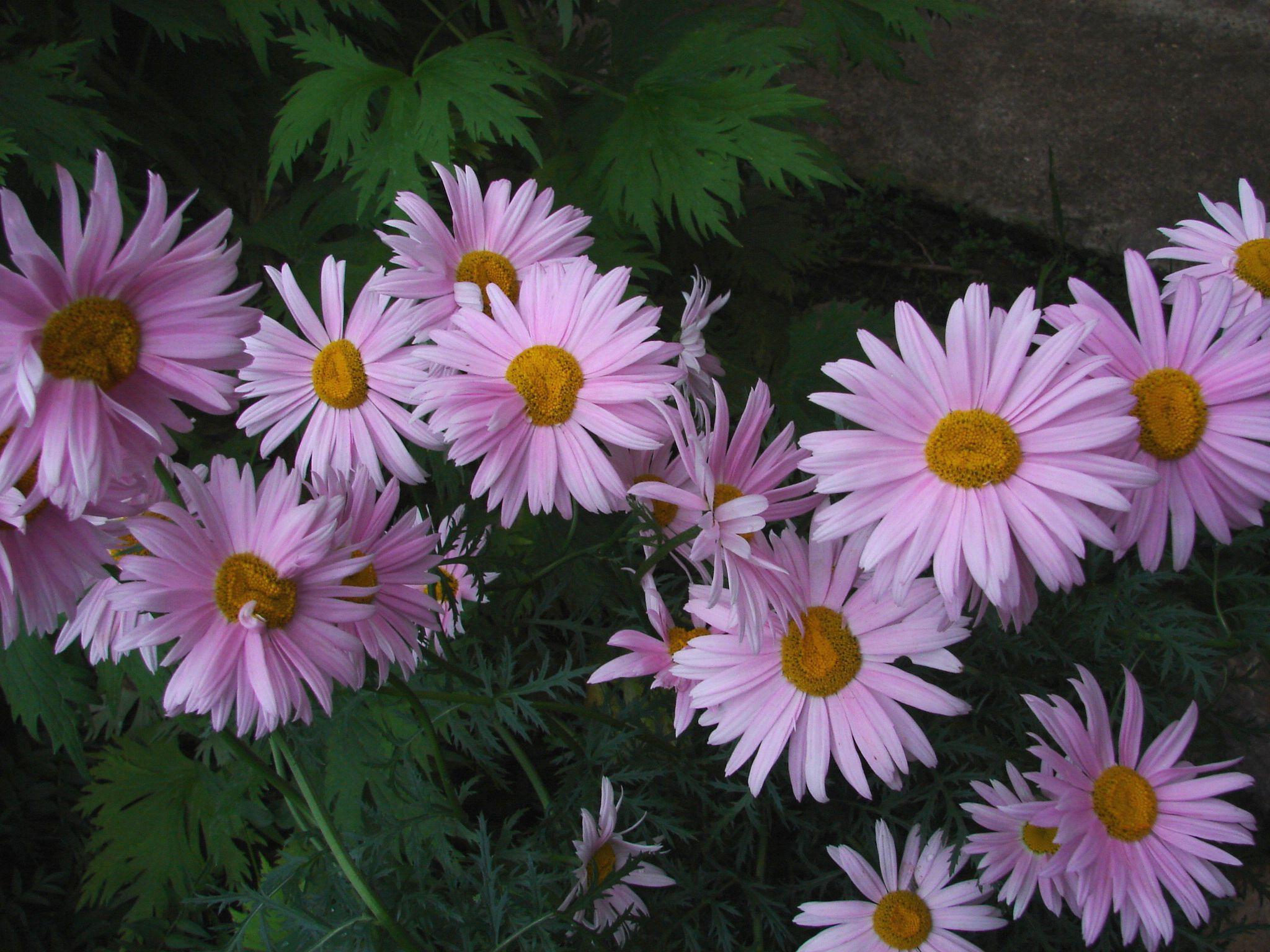 Ромашка махровая цветок фото